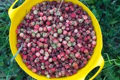 Bos wilde die aardbeien in een gele plaat worden gescheurd, die zich op het groene gras bevindt royalty-vrije stock afbeelding