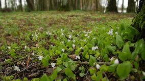 Bos, witte bloem De lentelandschap met veranderlijk licht Verzadigde groen op het plukken bladeren stock video