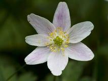 Bosanemoon, Drewniany anemon, Anemonowy nemorosa obrazy royalty free