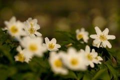 Bosanemoon, Drewniany anemon, Anemonowy nemorosa fotografia stock