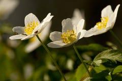 Bosanemoon, Drewniany anemon, Anemonowy nemorosa obraz royalty free
