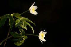 Bosanemoon, Drewniany anemon, Anemonowy nemorosa zdjęcie royalty free