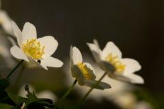 Bosanemoon, Drewniany anemon, Anemonowy nemorosa obrazy stock