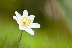 Bosanemoon, Drewniany anemon, Anemonowy nemorosa zdjęcia royalty free