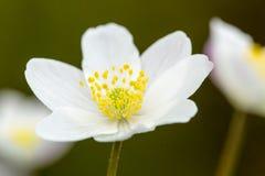 Bosanemoon, Drewniany anemon, Anemonowy nemorosa zdjęcie stock