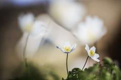 Bosanemoon, Drewniany anemon, Anemonowy nemorosa obraz stock