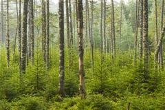 Bosatt skog för Adirondacks Arkivbilder