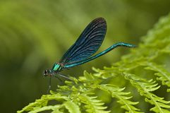Bosbeekjuffer, beau Demoiselle, Vierge de Calopteryx photo stock