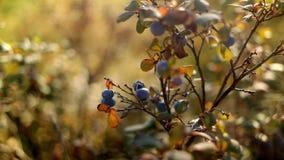 Bosbes in de Recente Herfst op Sunny Day stock video