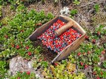 Bosbes en lingonberry oogst en struiken royalty-vrije stock afbeelding