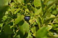 Bosbes in sappige greens Royalty-vrije Stock Afbeeldingen