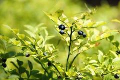 Bosbes (vaccinium myrtillus) Struik met de rijpe vruchten Stock Foto