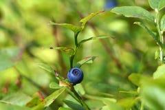 Bosbes (vaccinium myrtillus) Tak met het fruit Royalty-vrije Stock Afbeeldingen