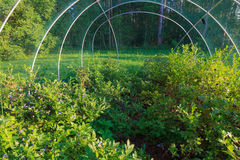 Bosbessen die op de struik rijpen Stock Afbeelding