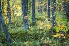 Bosbessen in het bos Stock Afbeeldingen