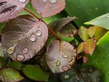 Bosbessenbladeren met waterdalingen Royalty-vrije Stock Foto