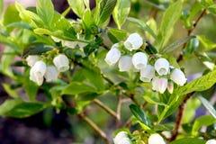 Bosbessenbloemen op de struik Royalty-vrije Stock Foto