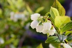 Bosbessenbloemen op de tak Royalty-vrije Stock Afbeeldingen