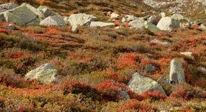 Bosbesseninstallatie in herfstmilieu Royalty-vrije Stock Afbeelding
