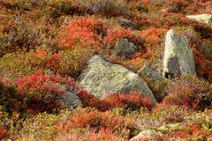 Bosbesseninstallatie in herfstmilieu Stock Fotografie