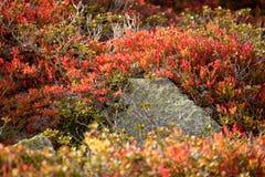 Bosbesseninstallatie in herfstmilieu Stock Foto's