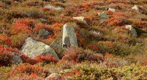 Bosbesseninstallaties in herfstmilieu Royalty-vrije Stock Foto's