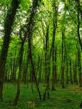 In bosbomen glanst de groene gloed royalty-vrije stock fotografie