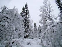 Bosbomen na de zware de wintersneeuwval stock foto's