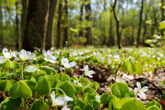 Bosbouw witte bloemen Royalty-vrije Stock Foto