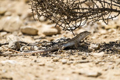 Bosc& x27 το s περιθώριο-η σαύρα & x28 Acanthodactylus boskianus& x29  στοκ φωτογραφία με δικαίωμα ελεύθερης χρήσης