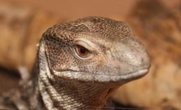 Bosc monotor portrait. A head shot of a baby lizard Royalty Free Stock Image
