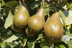 Bosc Pears in an Orchard Stock Photo