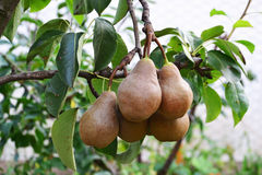 Bosc pears in the tree. Ripe bosc pears on a tree branch - European pears royalty free stock photo