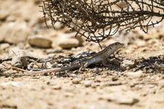 Bosc& x27; s rand-toed hagedis & x28; Acanthodactylus boskianus& x29; Royalty-vrije Stock Foto