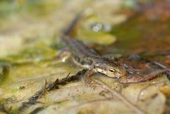 Boscai del Triturus, boscai di Lissotriton, Tritone, Anfibio immagine stock