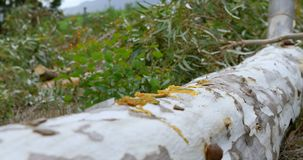 Boscaiolo con il tronco di albero di taglio dell'ascia 4k archivi video