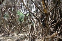 Boschetti asciutti della palma dopo un fuoco nella giungla Fotografie Stock Libere da Diritti