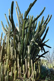 Boschetti del cactus Fotografia Stock Libera da Diritti