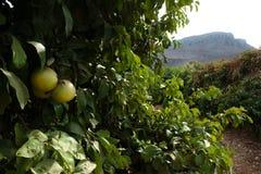 Boschetti dell'arancio del Galilee Fotografie Stock