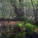 Boschetti della foresta Foresta del relitto, rosso dell'ontano Immagini Stock