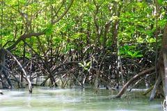 Boschetti della mangrovia Immagine Stock