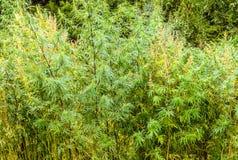 Boschetti della pianta della canapa in un campo nel Bhutan Fotografia Stock Libera da Diritti