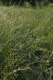 Boschetti della rugiada dell'erba del grano di mattina Fotografia Stock