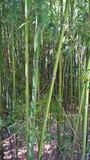Boschetti di bambù Fotografie Stock Libere da Diritti