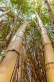 Boschetti di bambù lunghi Vista ascendente Immagini Stock