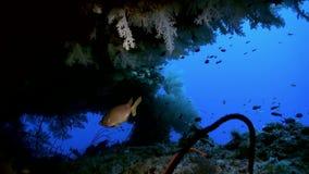 Boschetti di corallo molle variopinto sulla scogliera in oceano archivi video