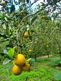 Boschetto arancio Immagine Stock