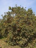 Boschetto arancio Fotografia Stock Libera da Diritti