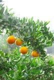 Boschetto arancione Immagini Stock