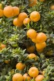 Boschetto arancione 5 Fotografie Stock Libere da Diritti